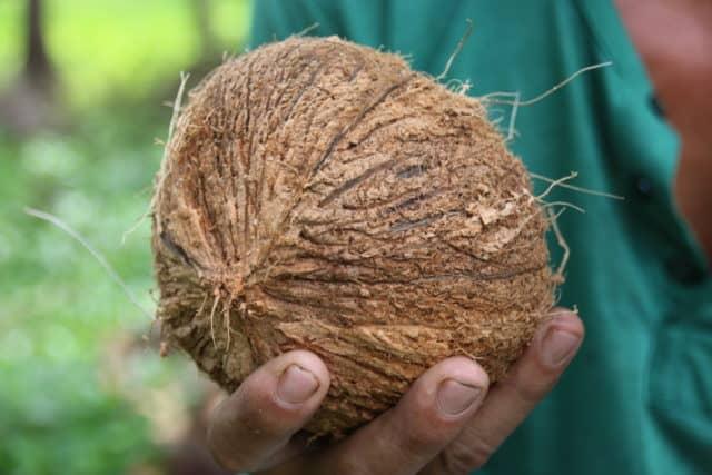 Frisch geerntete Kokosnuss für FRANZ & CO.