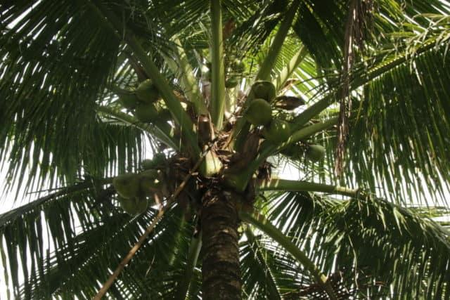 Blick nach oben: Erntereife Kokosnüsse hängen an einer Kokospalme