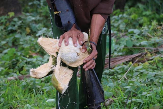 Geerntete Kokosnüsse werden vorsichtig geöffnet und ihre dünne Schale und braune Schutzhaut per Hand entfernt