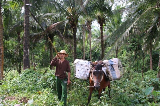 Mit einer langen Stange werden reife Kokosnüsse gepflückt und zur Sammelstelle gebracht.
