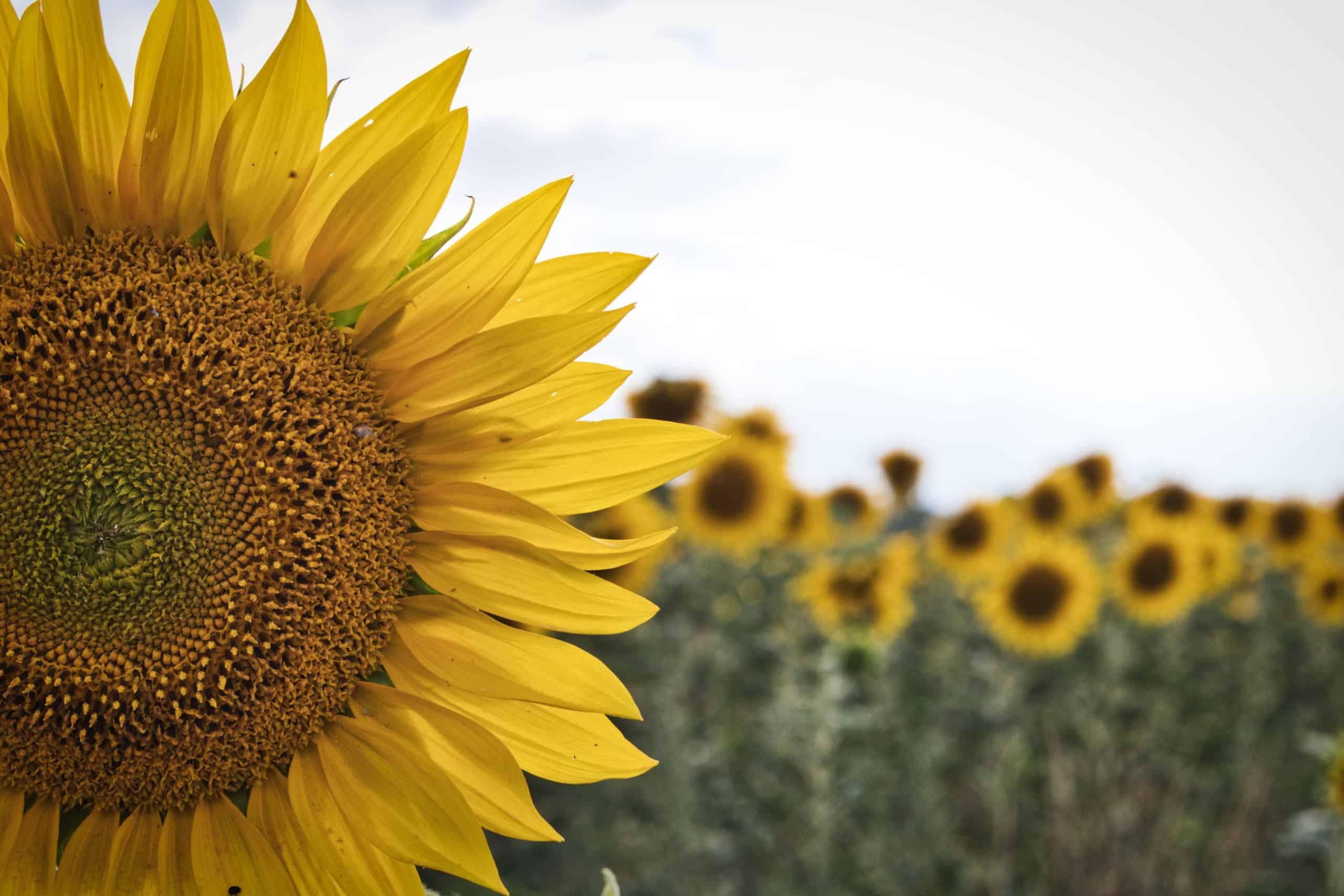 Nahaufnahme einer Sonnenblumen auf dem Feld