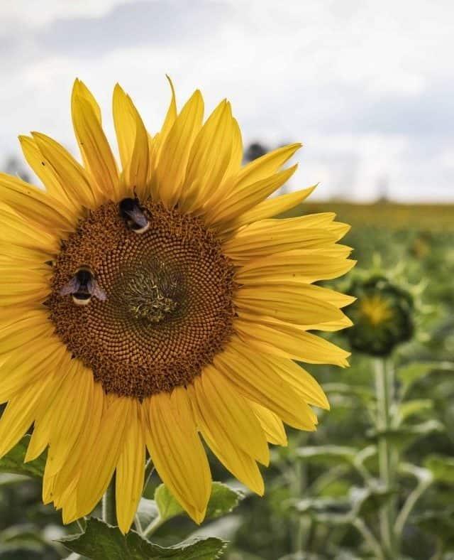 Sonnenblumenfeld für Sonnenblumenöl